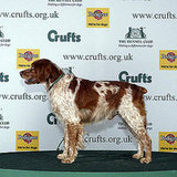 2008 Crufts: Utility, Toy, and Gundog Groups Gallery