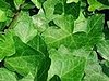 Plants That Purify: English Ivy