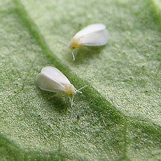 Casa Quiz: Beware the Whitefly!
