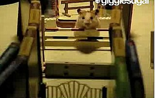 Hamster Jumps Hurdles