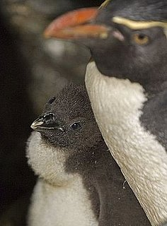 Cute Alert: Baby Penguin Born at Zoo in Chicago