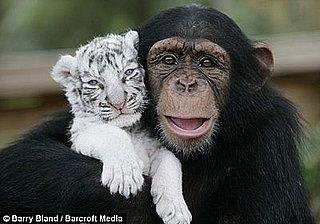 Cute Alert: Chimp Adopts Tiger Cubs