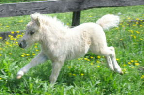 Cute Alert: Tiny Horse Runs Like the Wind