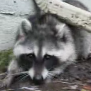 Tug-of-War With a Raccoon