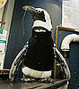 Penguin Gets Fitted For Wetsuit