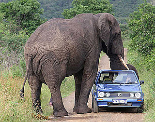 Do Elephants Like The Color Blue?