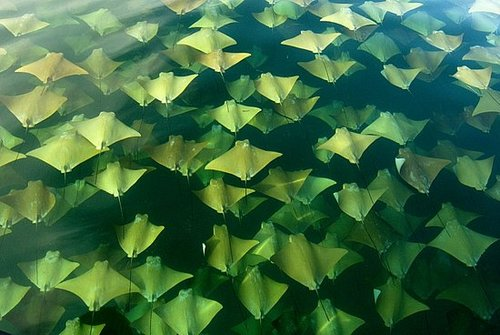 Huge Stingray School Heads North