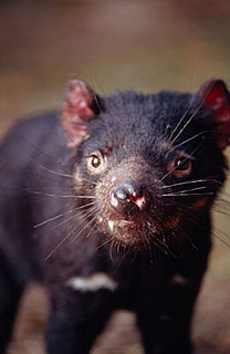 Creature Feature: Tasmanian Devil