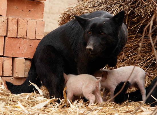 Orphaned Piglets Love Foster Mom, Too