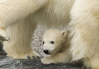 Germany Is the Land of Polar Bears . . . Meet Baby Wilbaer
