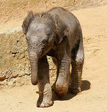 This Baby Elephant Is Only 33 Hours Old!