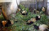 Eight Giant Pandas to Be Transferred to Beijing Zoo Post-Earthquake