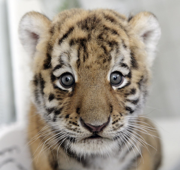 Baby Siberian Tiger, Antares, Makes His Debut in Germany's Tierpark Berlin
