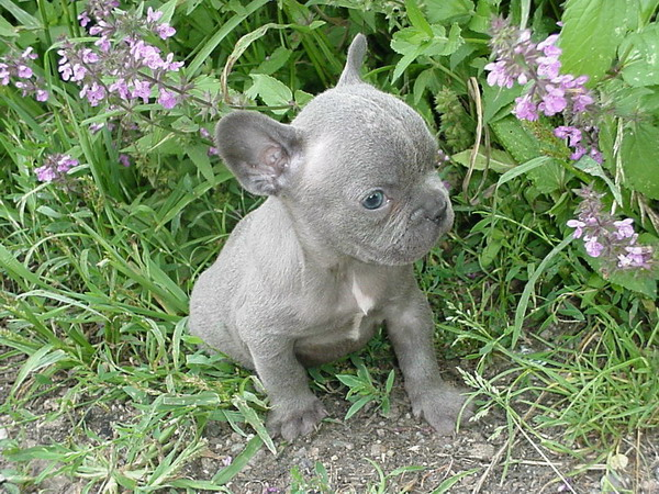 Rare Blue French Bulldogs