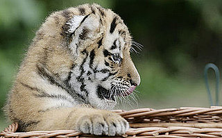 Creature Features: Siberian Tigers