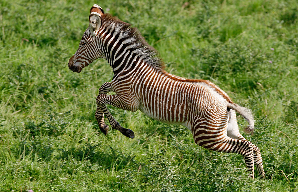 Florence, an Endangered Grevy's zebra, is Born in Scotland's Edinburgh Zoo