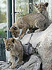 There's Three Times the Cute With Three Berber Lion Cubs