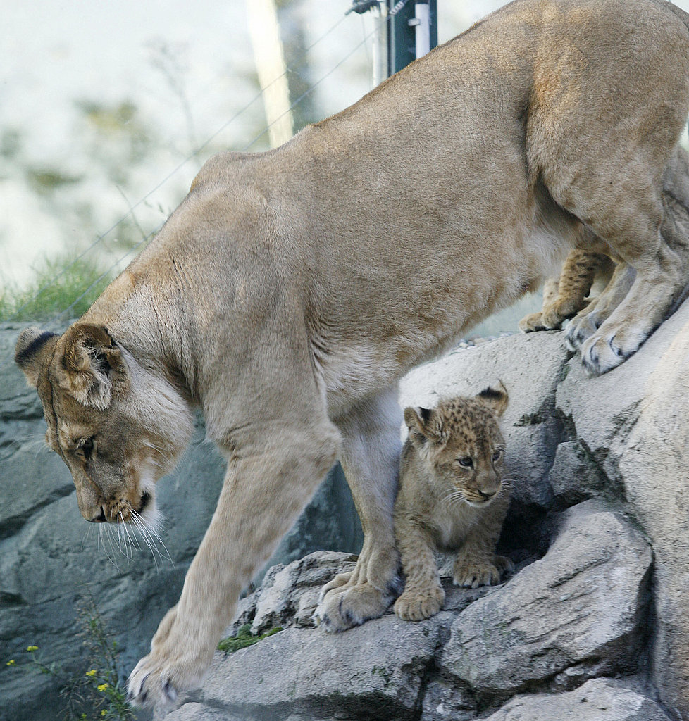 The Scoop: Three Baby Berber Lions