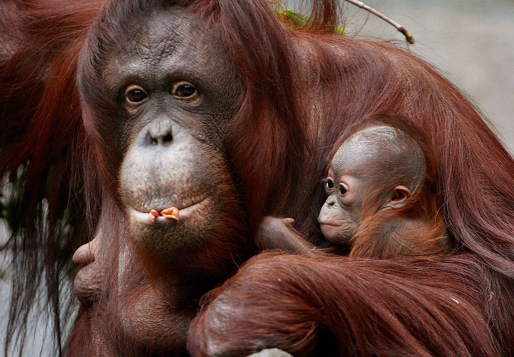 Baby Bornean Orangutan Born at Brookfield Zoo
