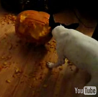 Three Cute Halloween Videos Featuring Pups Vs. Pumpkins