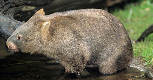 Creature Features: Wombat