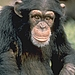 Activists Fight to Have Chimpanzee Declared Human