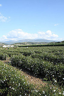 Chanel No 5 Tour of Grasse, France Jasmine Flower Fields