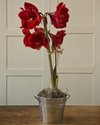 Buy an Amaryllis Bulb
