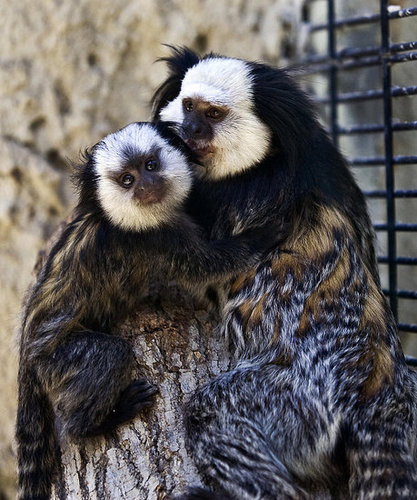Three Week Old Marmoset Cuddles Daddy