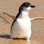 Fairy Penguins Rescued from New South Wales State Coastline