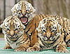 Bella&#039;s Tiger Babies