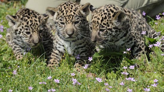 Meet Berlin&#039;s Baby Jaguars!