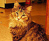Pet Pic of the Day: Millie&#039;s a Maine Coon Through and Through