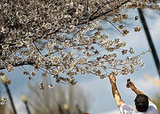 In Bloom: Cherry Blossoms Open in DC