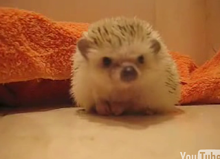 Introducing: Uni The Hedgehog