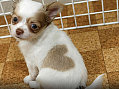 Cute Alert: Heart-Shaped Chihuahua Puppy