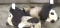 Cute Alert: Baby Pandas Get Bottle Fed