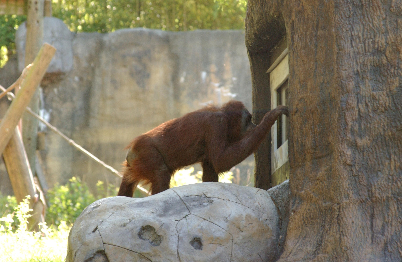 orangutan_2_wenn1303034