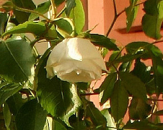 Garden Therapy:  Can You Help With This Rose?