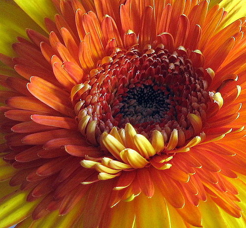 Plants That Purify:  Chrysanthemum