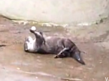 Cutest Little Otter Plays With Nut